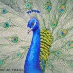 Draw Peacock Color Pencils Drawing