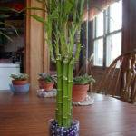 Houseplant Care Guides Lucky Bamboo