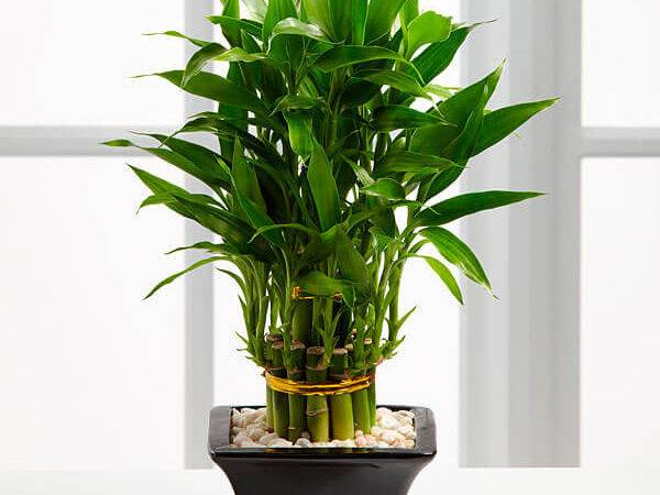 Lucky Bamboo Dracaena Sanderiana Indoor House Plants